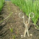 Как полоть морковь ножницами для богатого урожая?