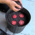 Как вырастить рассаду из перезрелых помидор
