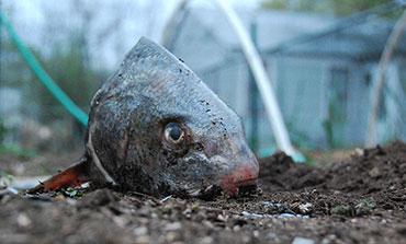 Как кормить рыбой помидоры в теплице