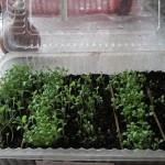 Выращивание рассады петунии в пластиковых коробочках