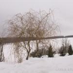 Ива Матсудана красива даже зимой
