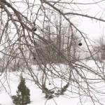 Старая яблоня отдыхает зимой