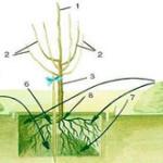 Посадка черешни весной