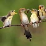Воробьиха кормит птенцов саранчой