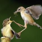 Воробьиха кормит птенца кузнечиком