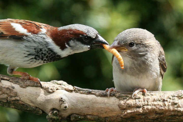 Воробьи уничтожают кучу гусениц, выкармливая птенцов