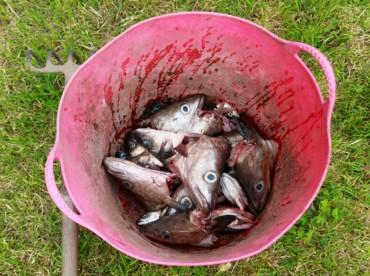 Рыбьи головы - эффективное средство от колорада