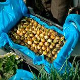 Выращивание зеленого лука в ящиках