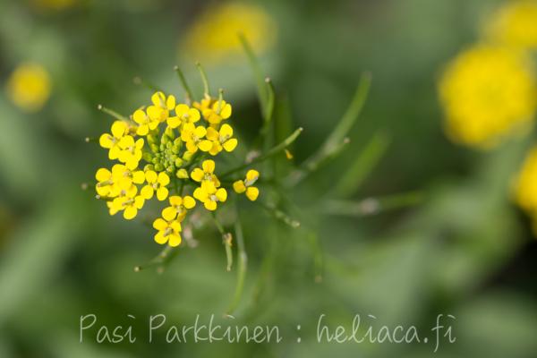 Соцветия желтушника левкойного