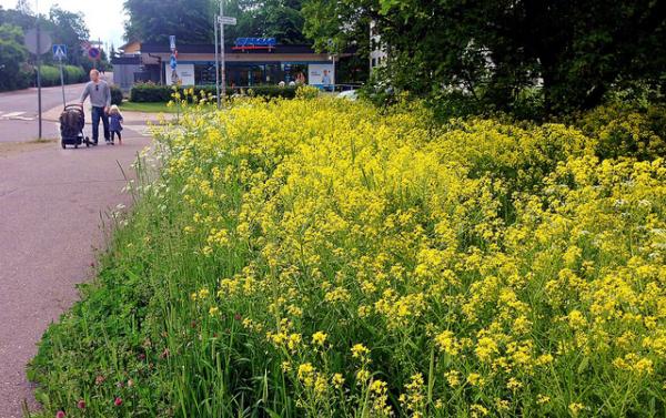 Желтушник левкойный цветет