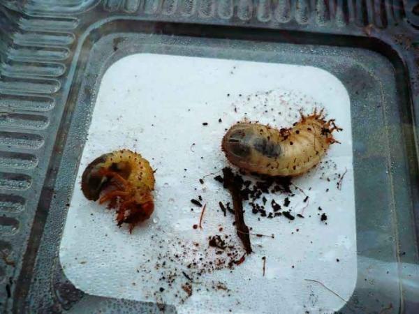 Личинки хруща и бронзовки