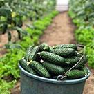 Урожай огурцов в теплице из поликарбоната