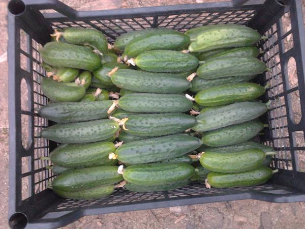 Урожай огурца Кураж при морозе в 20 градусов