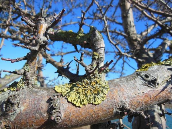 Вредны ли лишайники на деревьях?