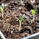 Як виростити розсаду помідор для теплиці?