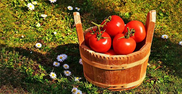 Врожай помідор