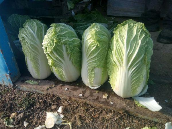 Врожай пекінської капусти